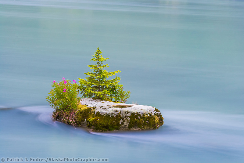 Fireweed and small spruce tree on rock island, Chilkoot River, Haines, Alaska