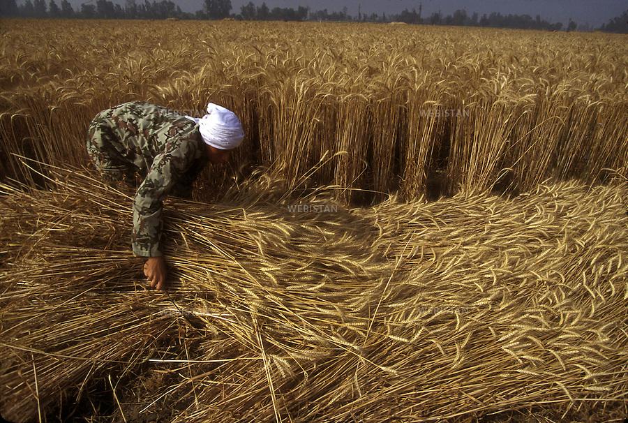 ..Egypt. Nile Delta. 1996. An Egyptian farmer harvests a wheat field with a sickle. ..Egypte. Delta du Nil. 1996. Un paysan egyptien moissonne un champ de ble avec une faucille.