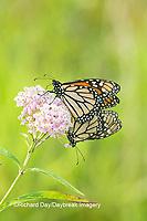 03536-05517 Monarch Butterflies (Danus plexippus) male and female mating on Swamp Milkweed (Asclepias incarnata), Marion Co.,  IL