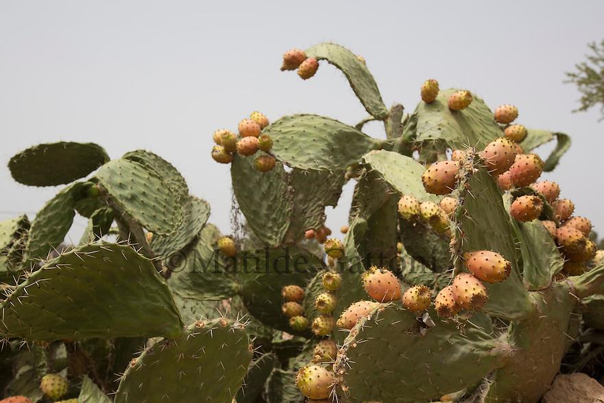 Morocco - Tidzi - Barbary fig trees stand between Argan trees.