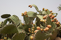 Morocco - Tidzi - Barbary fig trees stand between Argan trees.