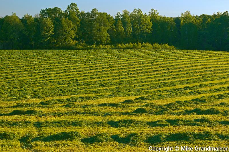 Swaths of clover at sunset, Near Hartland, New Brunswick, Canada