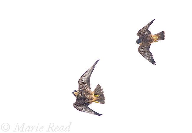Peregrine Falcons (Falco peregrinus), 2 juveniles (siblings) chasing in flight, California, USA