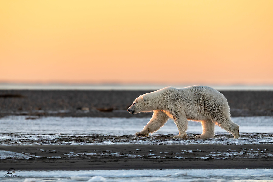 Polar Bears of Alaska