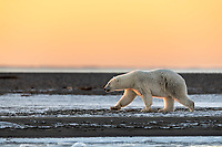 As the sun sets over Kaktovik on the north shore of Alaska, a Polar Bear (Ursus maritimus) makes its way past us.