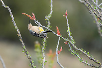 A male Gila Woodpecker, Melanerpes uropygialis, perches on an Ocotillo, Fouquieria splendens, in Sonoita Creek State Natural Area, Arizona