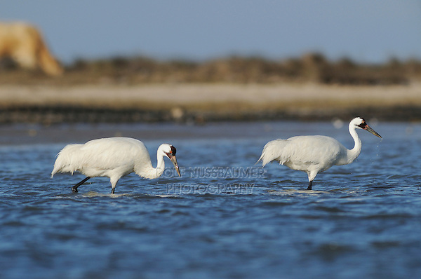 Whooping Crane (Grus americana), pair, Seadrift, San Antonio Bay, Gulf Intracoastal Waterway, Coastal Bend, Texas Coast, USA