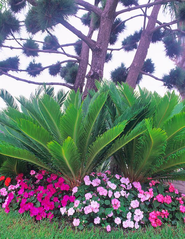 Sego palm (cycas revoluta) with impatiens. San Diego, California.