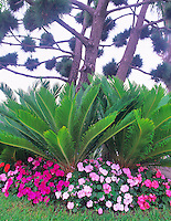 Sego palm (cycas revoluta) with impatiens. San Diego, California.