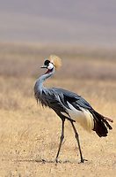 East African Crowned Crane (Balearica regulorum gibbericeps) Ngorongoro Tanzania Africa