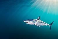 shortfin mako shark, Isurus oxyrinchus, Cape Point, Cape Peninsula, South Africa