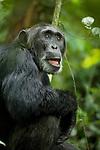 Africa, Uganda, Kibale National Park, Ngogo Chimpanzee Project. Wild male chimpanzee, 'Parker'.