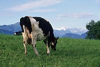 Kühe beim Vierwaldstaetter See, Schweiz