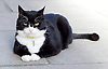 Palmerston <br /> the Foreign Office cat in Downing Street , London, Great Britain <br /> <br /> 5th August 2016<br />  <br /> Palmerston <br /> the Foreign Office cat in Downing Street <br /> <br /> <br /> Photograph by Elliott Franks <br /> Image licensed to Elliott Franks Photography Services