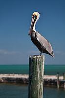 Brown Pelican, Pelecanus Occidentalis, Birds, Florida Keys