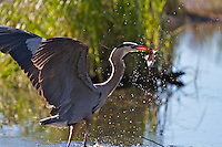 Blue Heron catching a fish in Grand Teton National Park