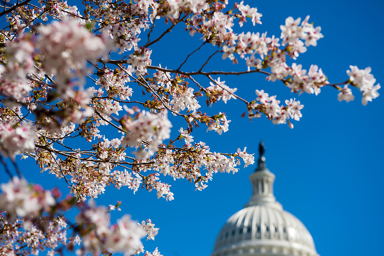 UNITED STATES - MARCH 29: Cherry blossoms bloom on the grounds of the U.S. Capitol on Wednesday, March 29, 2017.  (Photo By Bill Clark/CQ Roll Call)