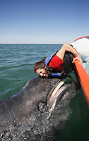 pr7123-D. Gray Whale (Eschrichtius robustus). Friendly calf approaches boat and makes contact with lucky tourist (model released). San Ignacio Lagoon, Baja, Mexico..Photo Copyright © Brandon Cole. All rights reserved worldwide.  www.brandoncole.com..This photo is NOT free. It is NOT in the public domain. This photo is a Copyrighted Work, registered with the US Copyright Office. .Rights to reproduction of photograph granted only upon payment in full of agreed upon licensing fee. Any use of this photo prior to such payment is an infringement of copyright and punishable by fines up to  $150,000 USD...Brandon Cole.MARINE PHOTOGRAPHY.http://www.brandoncole.com.email: brandoncole@msn.com.4917 N. Boeing Rd..Spokane Valley, WA  99206  USA.tel: 509-535-3489