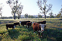 Cattle in south Town Common Murrumbidgee floodplain; river red gums. Gundagai, NSW