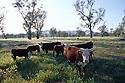 Cattle in south Town Common Murrumbidgee floodplain; river red gums. Gundagai, NSW