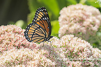 03421-00711 Viceroy (Limenitis archippus) on Autumn Joy Sedum (Sedum spectabile) Marion Co. IL
