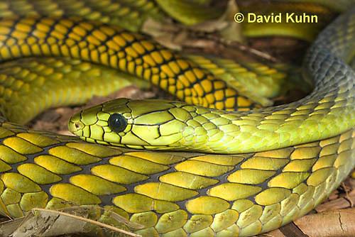 0423-1112  Western Green Mamba (West African Green Mamba), Dendroaspis viridis  © David Kuhn/Dwight Kuhn Photography