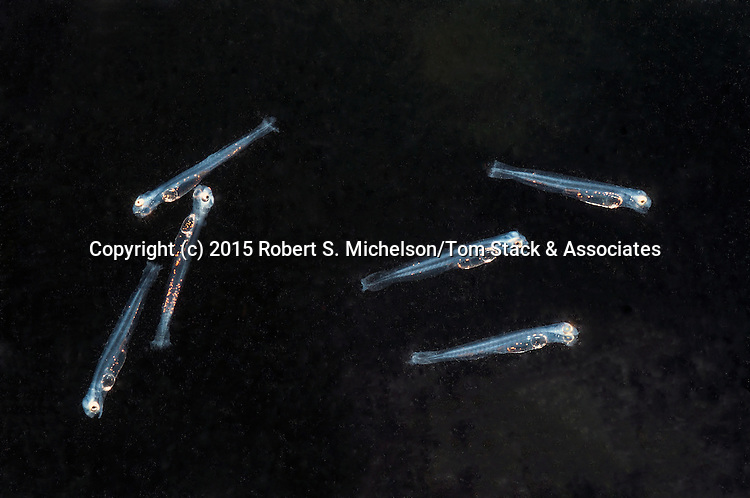 Several Striped Bass Larvae float down salt water brackish water after hatching 2 days before.  Each juvenile is about 3mm in length.