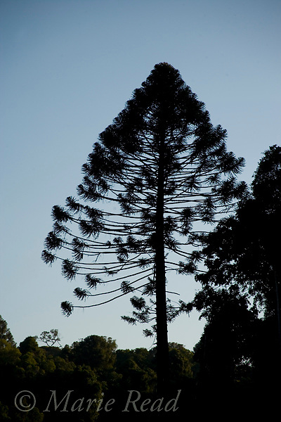 Bunya Pine (Araucaria bidwillii), silhouette, Bunya Mountains National Park, Queensland, Australia
