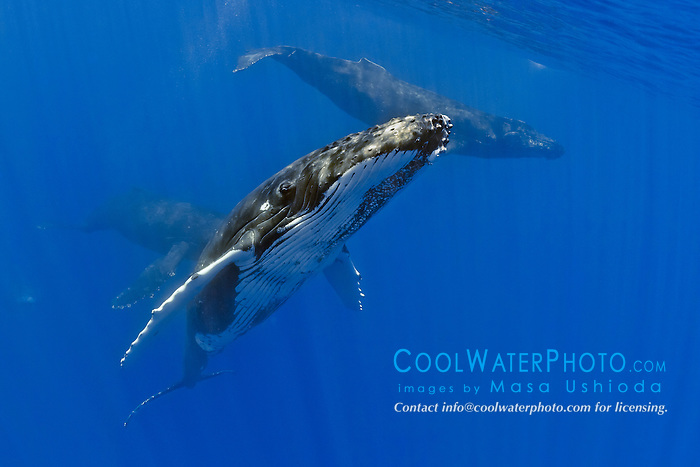 humpback whales, Megaptera novaeangliae, in competitive goup - one large female pursued by three competing males for access, Hawaii, USA, Pacific Ocean