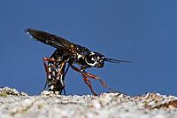 Erlen-Schwertwespe, Schwertwespe, Weibchen, Xiphydria camelus, Alder Wood-Wasp, Xiphydriidae, Schwertwespen