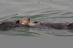 Sea otter courtship