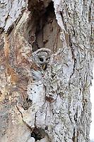 Peeking barred owl