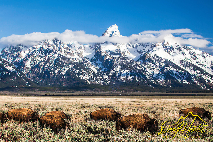 American Bison roaming their Jackson Hole home beneath the Grand Tetons in Grand Teton National Park.