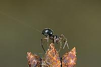 Zwergspinne, Weibchen vor dem Start zum Flug am Faden, Fadenfloß, Schwarze Glücksspinne, Zwerg-Spinne, Erigone atra, Baldachinspinnen, Linyphiidae, Zwergbaldachinspinnen, Altweibersommer