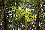 ubtle color differences in the bamboo forest near Narita, Japan