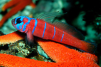 Bluebanded goby, Lythrypnus dalli,  inhabit small holes and crevices in the kelp forest reef, California, Pacific Ocean