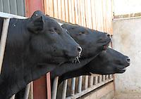 Beef bulls.