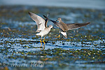 Lesser Yellowlegs (Tringa flavipes) non-breeding plumage adults during aggressive interaction, Ithaca, New York, USA