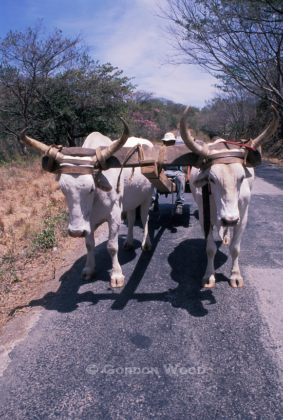 Oxen Cart on a Back Road in Guanacaste, Costa Rica