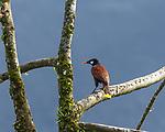 Montezuma's Oropendola, Psarolcolius montezuma, perched in a tree in Costa Rica.