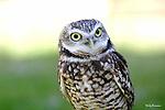OWL; burrowing owl
