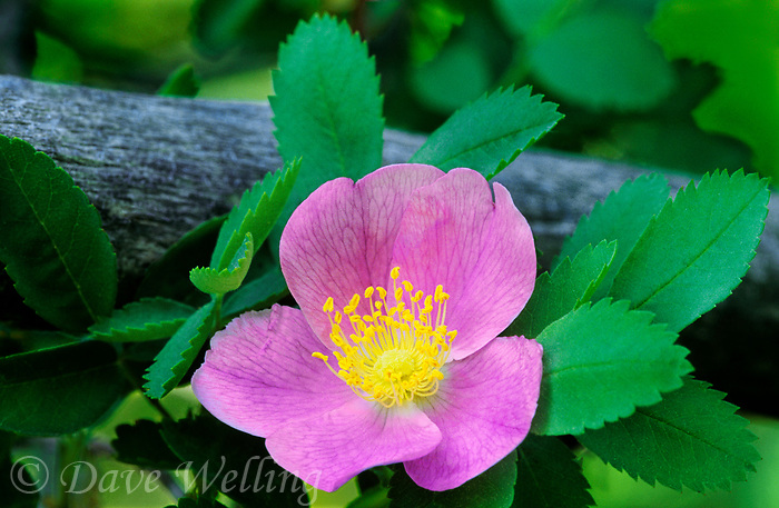 178190004 a wild rose plant rosa woodsii blooms with soft pink blossoms in the eastern sierras of central california united states