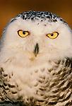 Snowy owl, Skagit flats, Washington