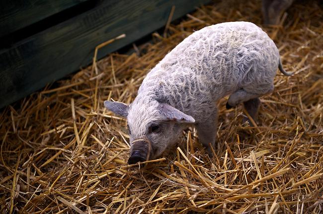 Mangalcsa piglets, Hungary stock photos