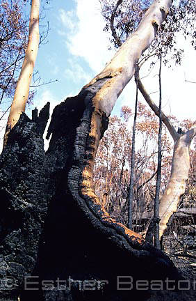A Scribbly Gum repeatedly burnt by bushfires. Old  scar has healed and recent blackening from three weeks ago. Royal National Park, NSW