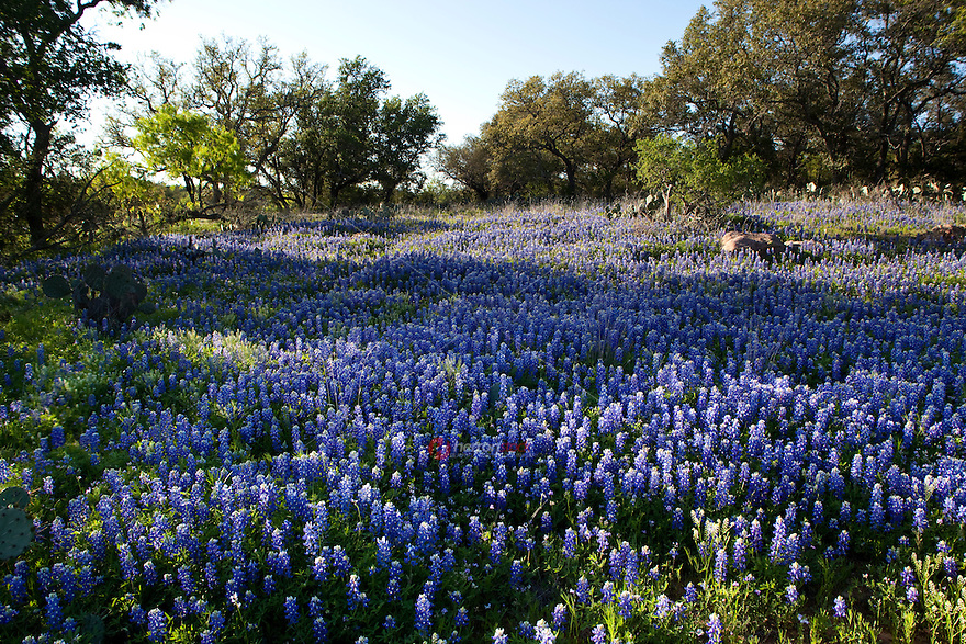 Field of Texas Bluebonnets Skimmed by Morning Sun at Lake Buchanan in the Texas Hill Country