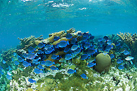 Blue Tangs and Elkhorn Coral<br /> Hawksnest Bay<br /> Virgin Islands National Park<br /> St. John, U.S. Virgin Islands