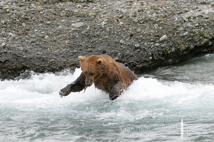 A brown bear leaps into the McNeil River, in Alaska's McNeil River State Game Sanctuary, in an attempt to catch a salmon.