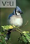 A Blue Jay ,Cyanocitta cristata,