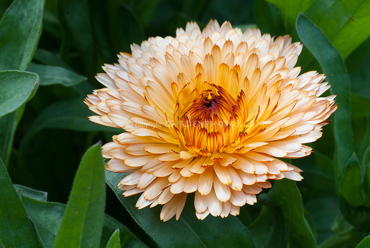 Calendula officinalis Orange Flash, pot marigold